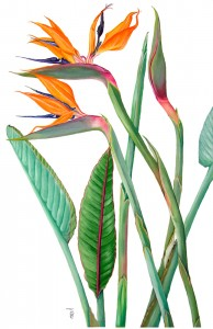 0001 Bird of Paradise (Strelitzia)