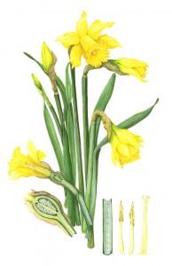 0002 Yellow Daffodils
