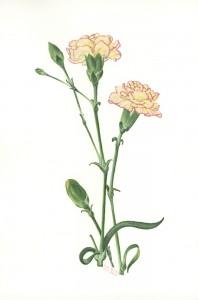 0004 Carnation (Dianthus)