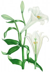 0005 White Lilies