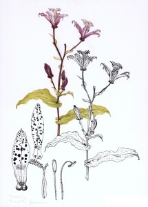0019 Toad Lily (Tricyrtis formosana)
