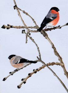 0705 Bullfinches on Ash Twigs