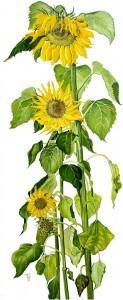 0706 Sunny Sunflowers