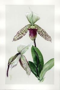 0803 Slipper Orchid II of V