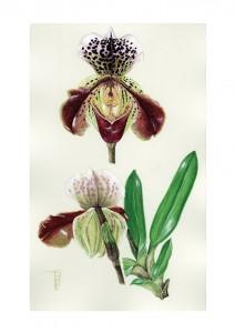 0806 Slipper Orchid V of V
