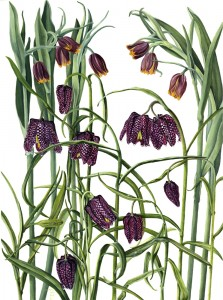 0807 COMMISSION: Fritillaries and dew drops