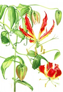 0808 Flame Lily (Gloriosa superba Rothschildiana)