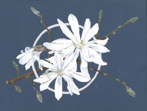 1006 Star Magnolia (Magnolia stellata)