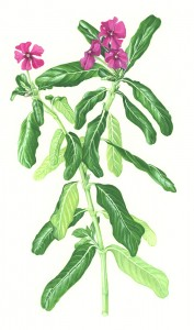 1009: Rosy Periwinkle (Catharanthus roseus)