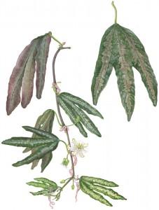 1011: Passion flower (Passiflora trifasciata)