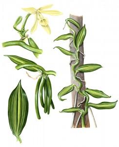 1013: Vanilla Orchid (Vanilla planifolia variegata)