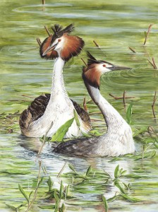 1106 Pearly King and Queen. (Great Crested Grebes, Podiceps cristatus, amongst Amphibious bistort, Polygonum amphibium)