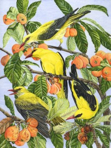 1107 Canoodling in the Loquats (Golden Orioles, Oriolus oriolus, and Loquats, Eriobotrya japonica)