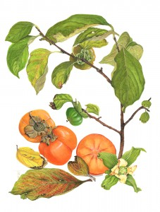 1212 Persimmon, Sharon Fruit, Diospyros kaki – Fuyu ('Fruit of the gods: a theme in the various')
