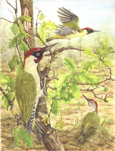 1301 'One O'clock High' (Green Woodpeckers)