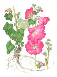 1304 Alcea rosea (Pink Hollyhock)