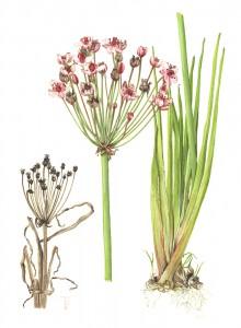 1305 Butomus umbellatus (Flowering rush)