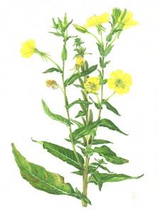 1306 Oenothera biennis (Evening primrose)