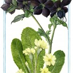 NS03 Nature's Gems: March Hellebore and Primrose