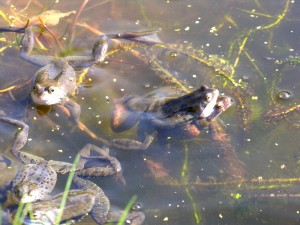 Frogs1Mar2014