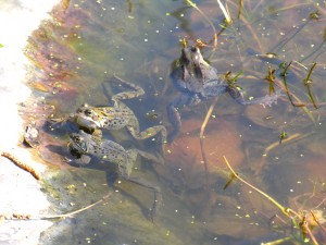 Frogs2Mar2014