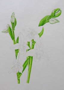 1410 Bee Orchids preliminary greens and whites