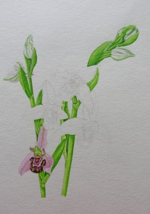 1410 Bee Orchids: adding a 'Bee' Flower