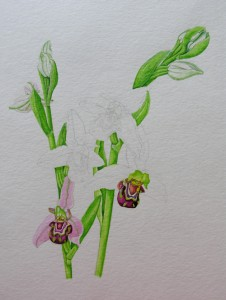 1410 Bee Orchid: working out and mixing the different greens of stem and flower