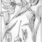 0006 Tulip Story. Original Pencil Sketch