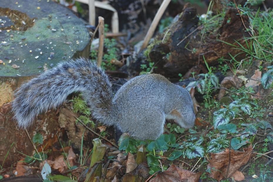 0711GreySquirrel