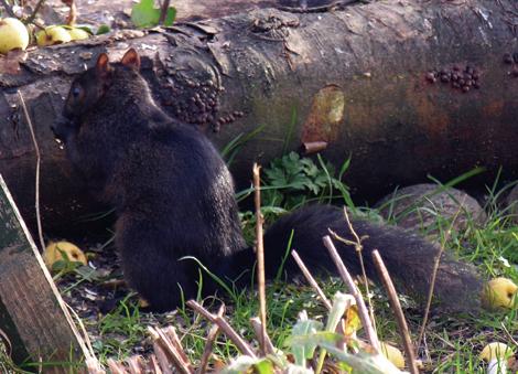 0711blacksquirrel