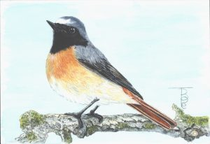 1606 A Male Redstart in Water colour for the 2016 NEWA Wild-Wall Tombola