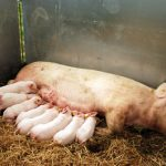 Contented mummy pig and happy piglets